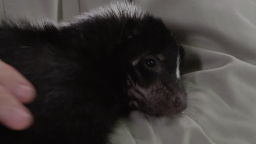 Skunk close up petting and cradling  #20976055