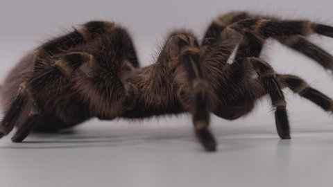Tarantula crawl off screen right on white screen