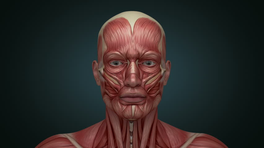 head and neck anatomy muscular system Flashcards and Study