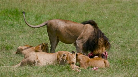 Lioness lion & cubs with kill