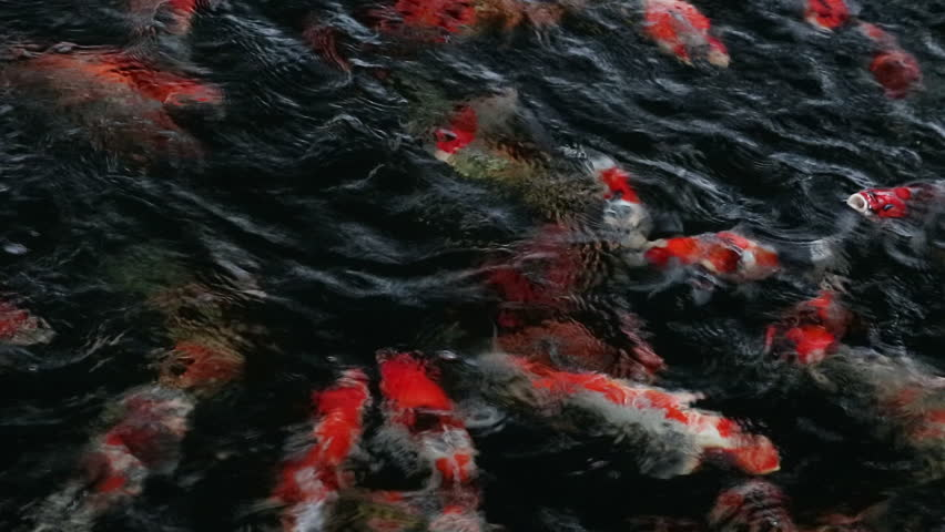 Many carp jump, rush to usurp feeding in the ripples reflection water. | Shutterstock HD Video #21121795