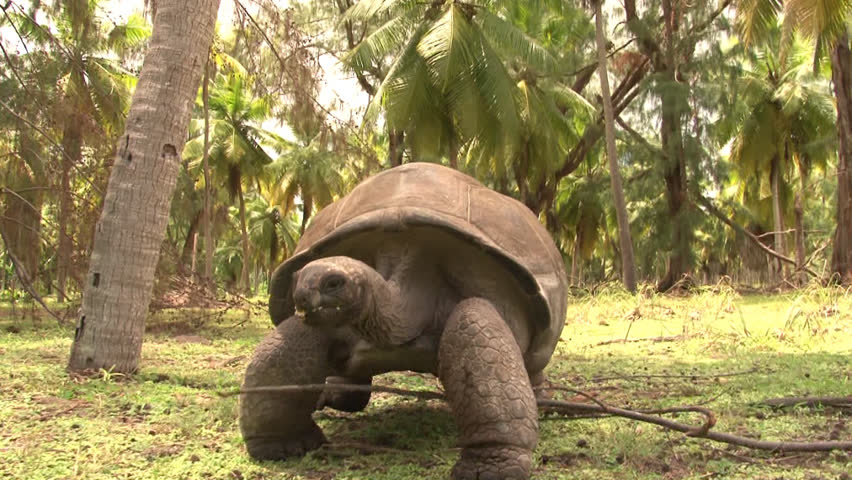 Giant turtle walks towards the camera. Seychelles