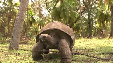 Giant turtle walks towards the camera. Seychelles