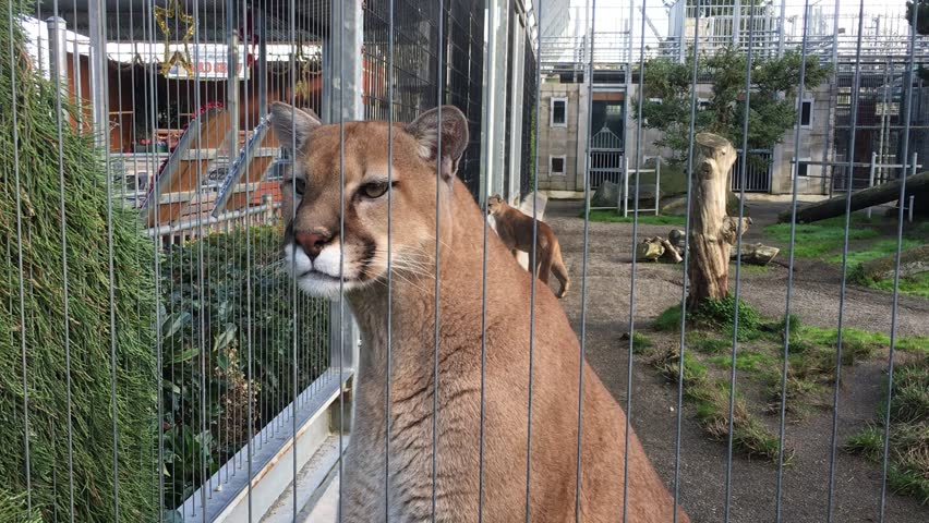 Mountain Lions in Captivity Chirping Stock Footage Video (100%  Royalty-free) 21236905 | Shutterstock