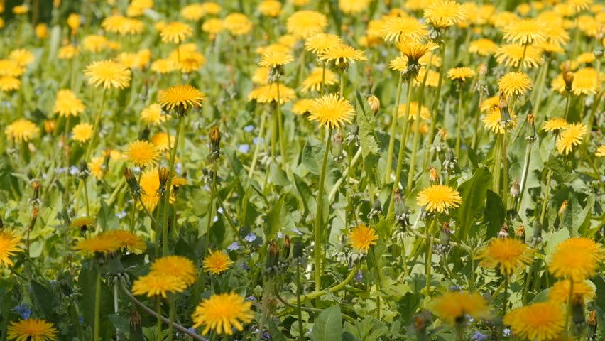 A Dolly Shot Of Dandelions In Gry Field