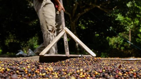 Man Smoothing Out Coffee Beans Cherries