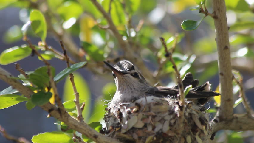 Hummingbirds raise their eyes, beaks, skyward, wait, impatiently, in nest for Mom to return with more food. 1080p
