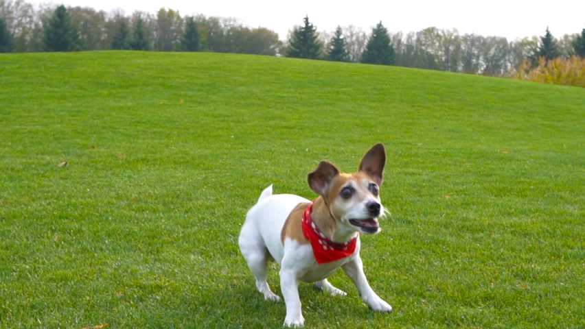 Funny active dog excited eagerly watching the ball dancing and jumping. Catch the ball and run. Jack Russell terrier playing in countryside green grass nature. slow motion video footage