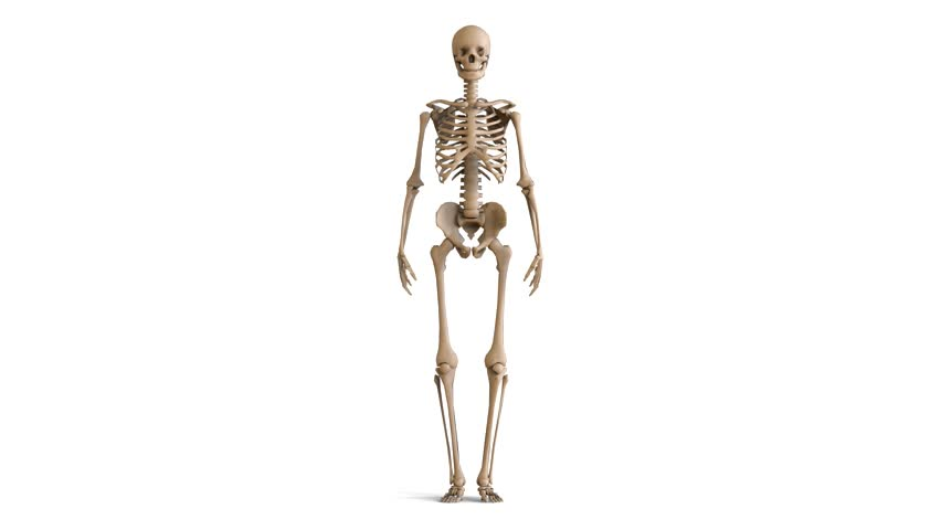 human body transparent with skeleton. x-ray 3d render loop, Muscles