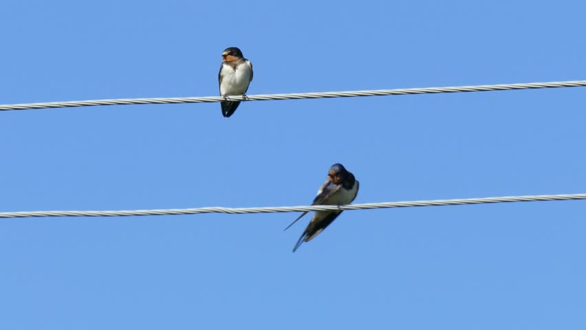 Two swallow sitting on a wire