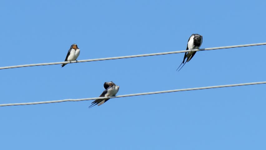 Many swallows sitting on a wire