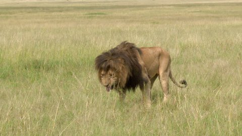 African Lion Male (Panthera leo) flehming, showing teeth, and walking away for smelling female in heat