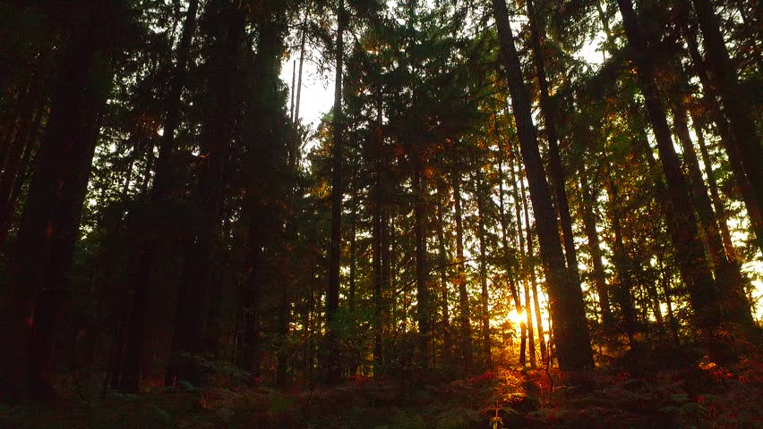Last sun rays in deep spruce forest. Not so early autumn time in the afternoon. orange sun rays in deep forest. | Shutterstock HD Video #21563455
