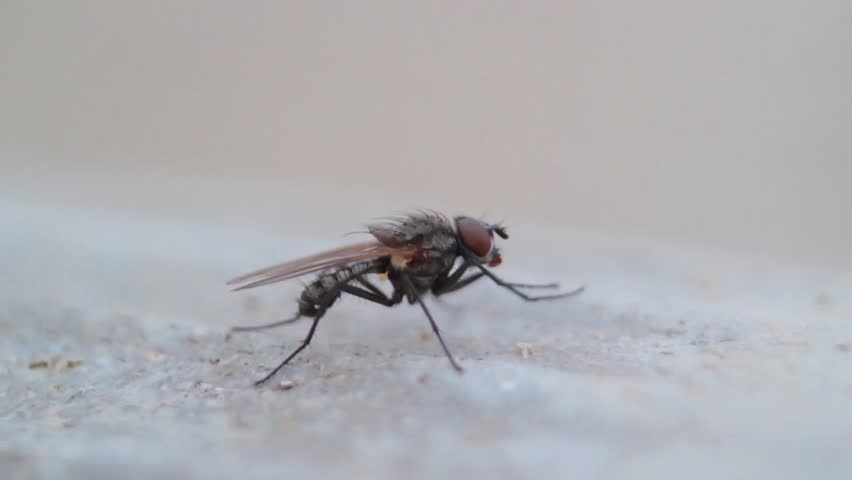 Small fly washes close up   HD stock footage clip. Tiny House Fly Insect Cleaning Legs Frontal View Ultra Macro Close