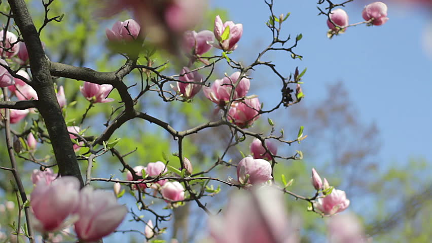 pink magnolia bud, flowers of the pink magnolia, pink magnolia, pink Magnolia flowers on tree branch, Magnolia tree blossom, pink magnolia blossoms on the sky background
