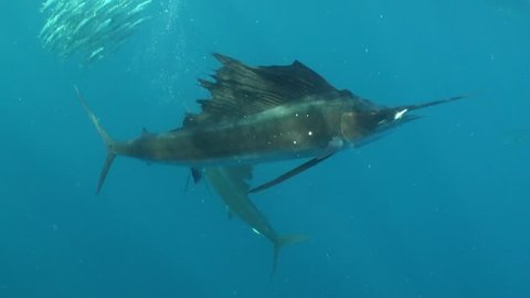 Underwater footage of Atlantic sailfish feeding on a sardine bait ball in the waters outside Cancun, Mexico.