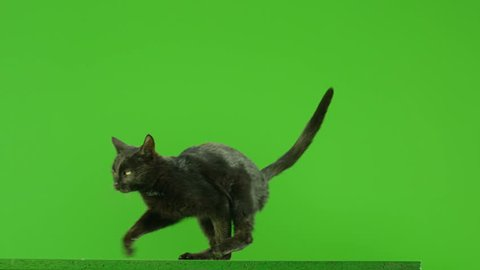 Black Cat jumping on green screen. Shot on RED EPIC DRAGON Cinema Camera in Slow Motion.