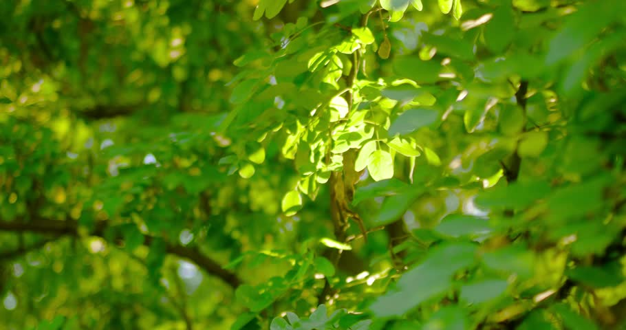 Acacia leaves backlit set of footages. | Shutterstock HD Video #21639715