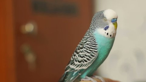 Budgerigar blue (Melopsittacus undulatus) sitting on a human finger, turns his head and blinks.