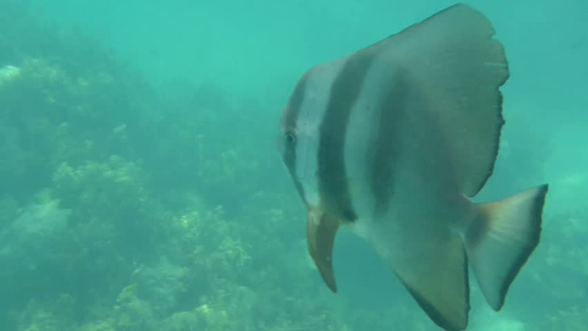 Huge batfish swimming through the coral reefs of the Indian Ocean around Seychelles islands