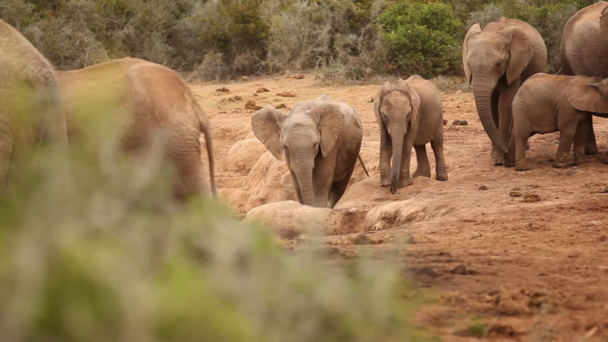Juvenile elephant socialising around a watering hole in the Addo Elephant Park in the Eastern Cape, South Africa and swinging trunk   Shutterstock HD Video #21789985