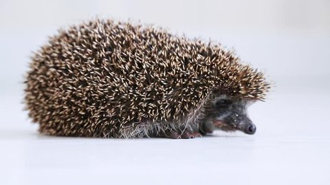 Hedgehog standing on a white floor in a bright room. Hedgehog looks and sniffs.