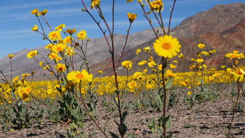 Dolly of Skull & Desert Flower Super Bloom in Death Valley