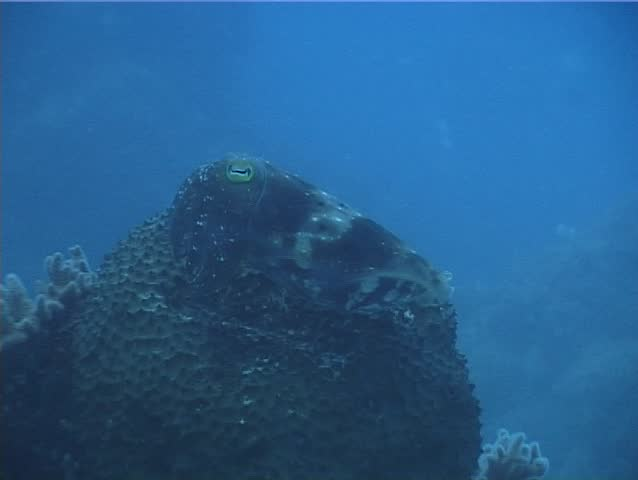 Broadclub cuttlefish (Sepia latimanus) swimming underwater in Australia
