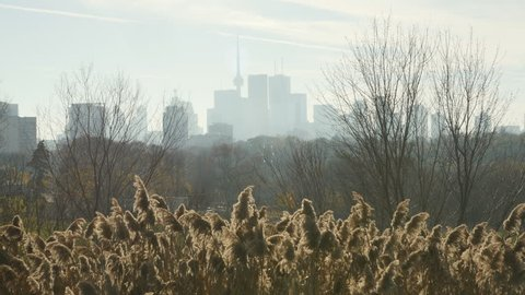 Warm autumn day with sunlit reeds and trees in Riverdale park, Toronto. The reeds shown are invasive to wetland areas and are known as phragmites. Downtown Toronto, Canada in the background