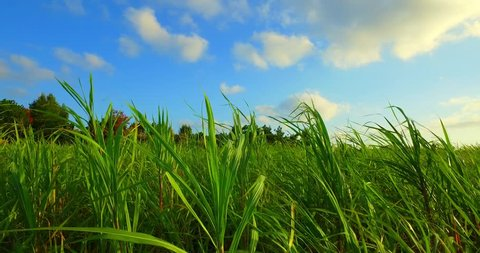 Sugar cane blowing in the wind, blue Okinawa sky