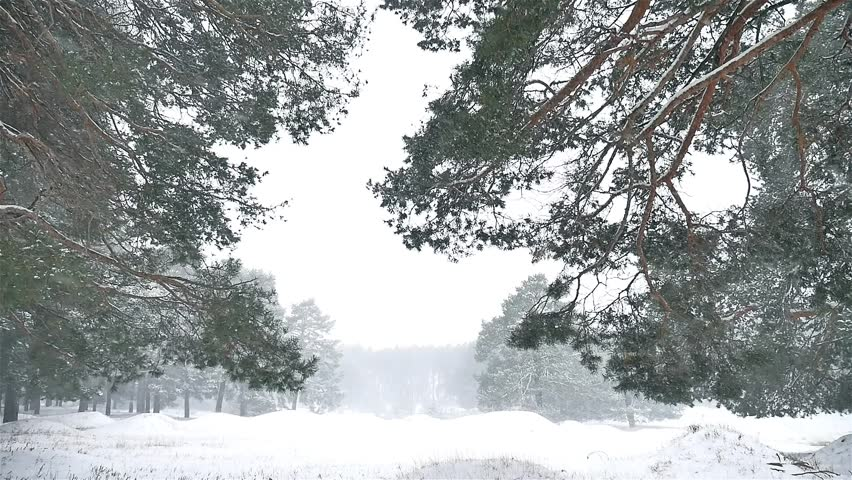 Snowstorm Blizzard The Woods Snowing Winter, Nature Christmas Tree And Pine  Forest Landscape   HD