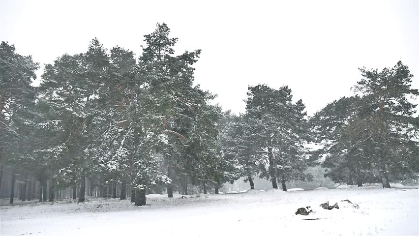 Snowstorm Blizzard Nature In The Woods Snowing Winter, Christmas Tree And  Pine Forest Landscape