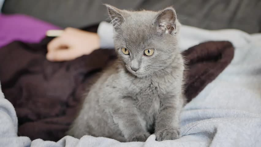 A small gray kitten sitting in the arms of a lying person | Shutterstock HD Video #22279516
