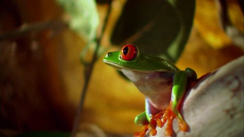 Insert CU tree frog, with red eyes feet, branch, smelling air Jumps out focus another branch playback, channel surfing (Jan 2005)