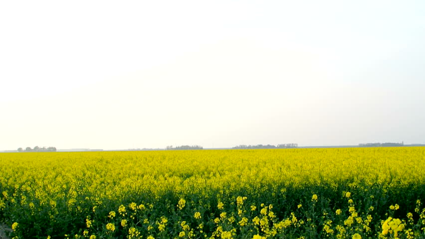 Field of blossoming yellow Canola or Rapeseed on a windy day.