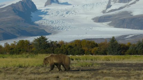 Panning Shot Following Grizzly Bear With Mountain-Glacier Background