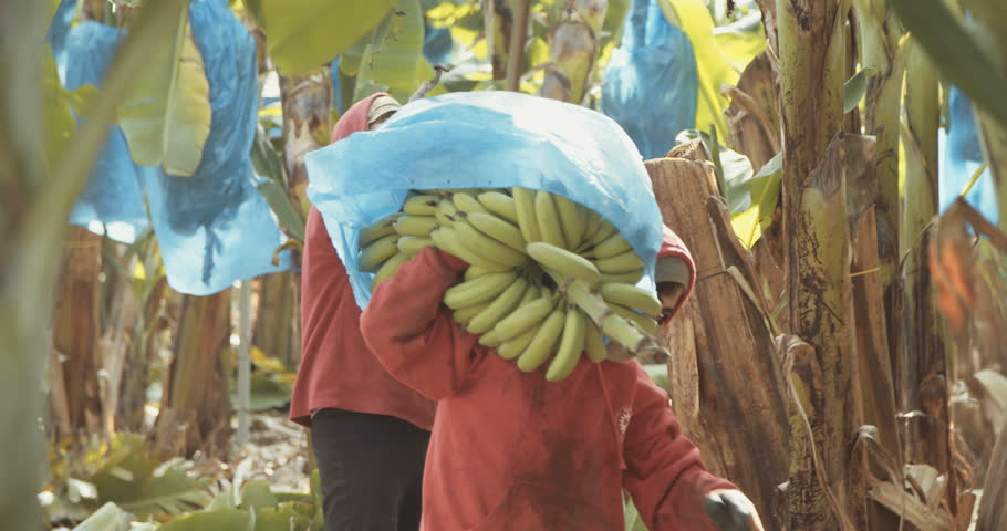 Workers carrying banana clusters during banana harvest