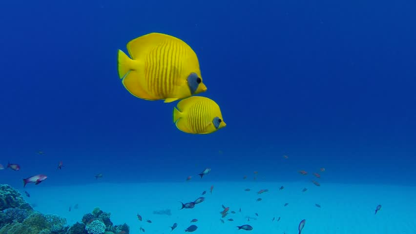 Underwater Colorful Tropical Fish Bluecheek Butterflyfish. Picture of bluecheek butterflyfish in the tropical reef of the Red Sea, Dahab, Egypt. Ideal as a background.