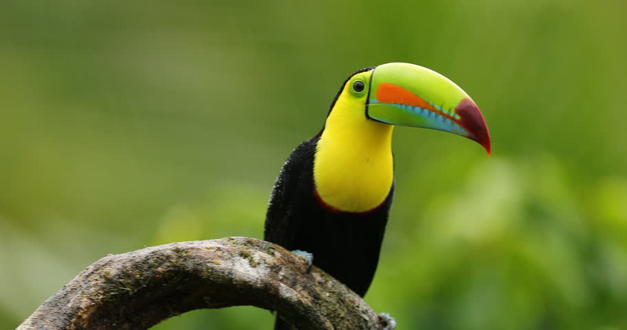 Keel-billed Toucan, Ramphastos sulfuratus, sitting on the branch in the forest. Bird with big bill. Wildlife scene from tropic nature. Birdwatching of Costa Rica, Central America. | Shutterstock HD Video #22467985