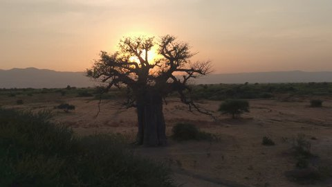 Flying towards stunning big old baobab tree on arid plains of African savannah in beautiful Tarangire National Park. Picturesque scenery with mountains in background at golden sunset