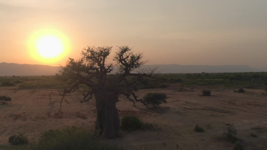 Flying around stunning big old baobab tree on arid plains of African savannah in beautiful Tarangire National Park. Picturesque landscape with mountains in background at golden sunset