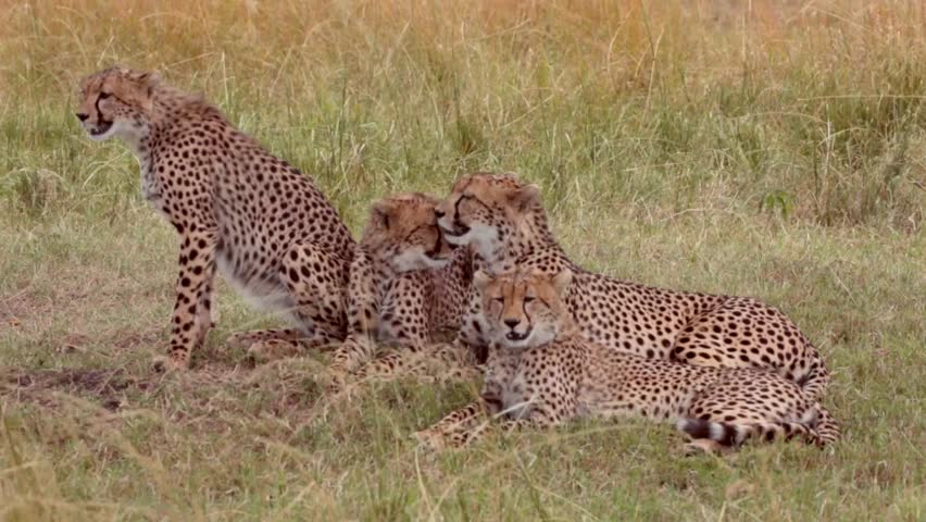 Family of four cheetahs. Mother licking a cub.