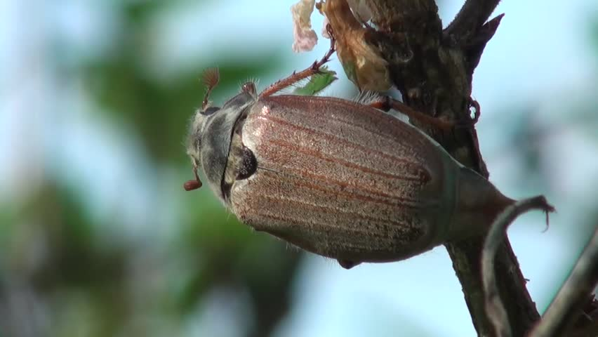 May beetle is ready to fly