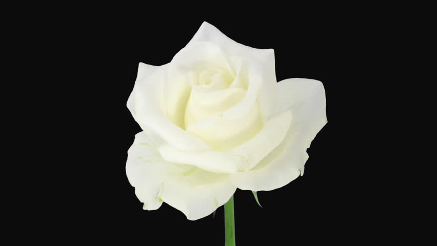 Black Rose White Background White Rose With Black ...