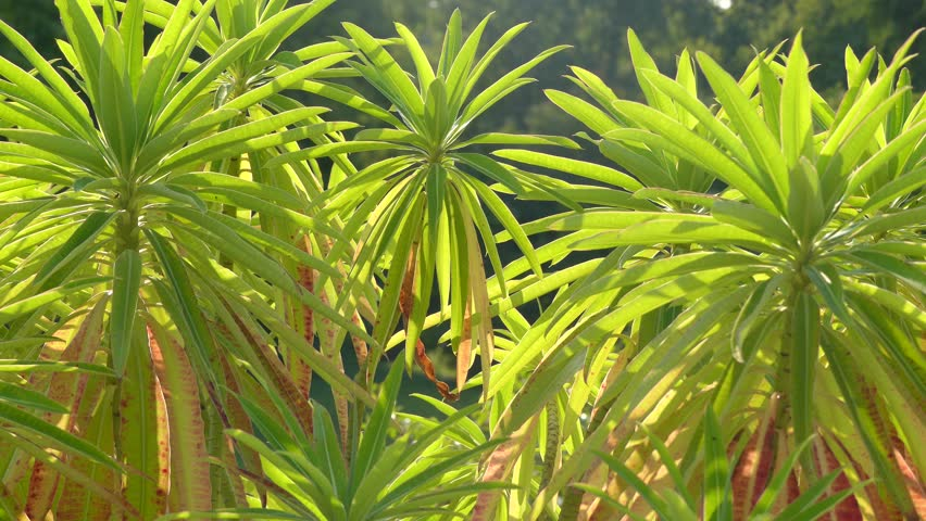 Euphorbia mellifera (canary spurge, honey spurge, Tithymalus melliferus Moench) is species of flowering plant in spurge family Euphorbiaceae, native to Madeira.