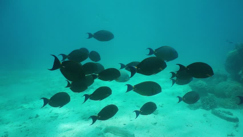 Underwater school of yellowfin surgeonfish with corals and other tropical fishes in background, south Pacific ocean, New Caledonia