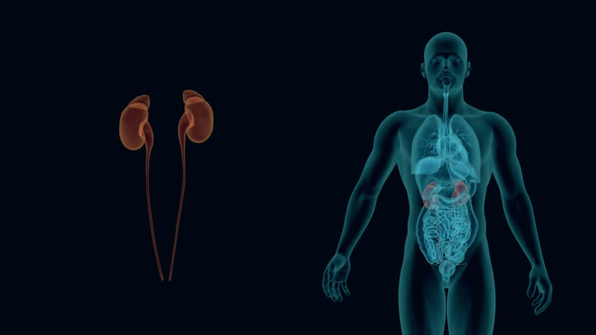 X-rays of human urinary system 3d animation