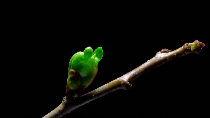 Time-lapse cherry flowers bud growing - isolated on black background.