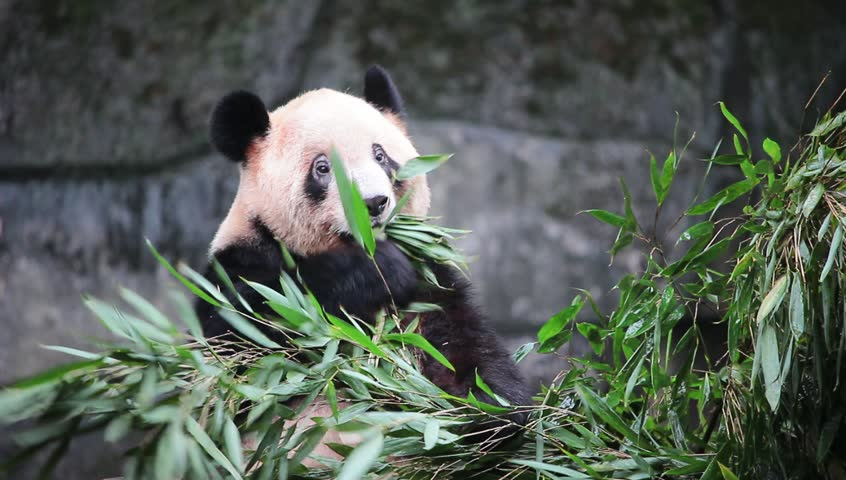 Rare Cute Giant Panda eating bamboo, Chongqing, Sichuan, China