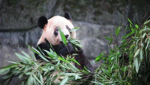 Rare Cute Giant Panda eating bamboo, Chongqing, Sichuan, China